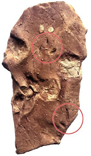 西藏鸟足迹化石。中国地质大学副教授、化石研究者邢立达供图