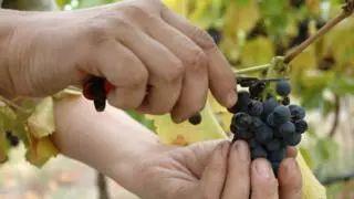 ▲果园采摘工是薪酬最低的工种之一。图据BBC