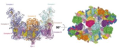 线粒体呼吸链超超级复合物三维结构 各个亚基显示不同颜色的超超级复合物结构