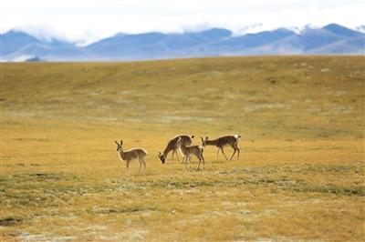 劉銀川在阿里地區自駕時,遇到的藏羚羊。