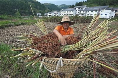 2018年,茅台集团对基地农户有机高粱的收购价上调至8.2元/公斤。图/视觉中国