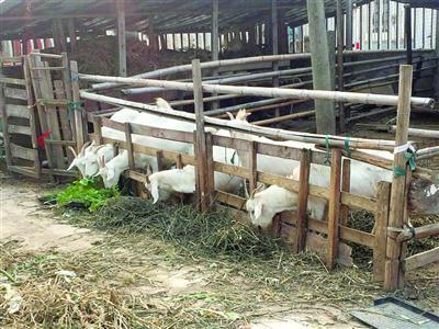 崇明农户散养白山羊价格涨 有农户家17只羊被预订一空