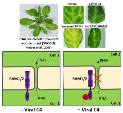 上海生科院揭示植物病毒与宿主细胞间的博弈新机制