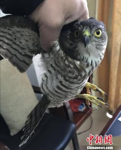 南昌市民救助一只日本松雀鹰 系国家二级保护动物