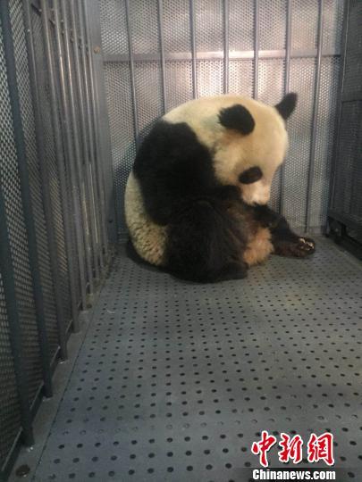 患病大熊猫。 钟欣 摄