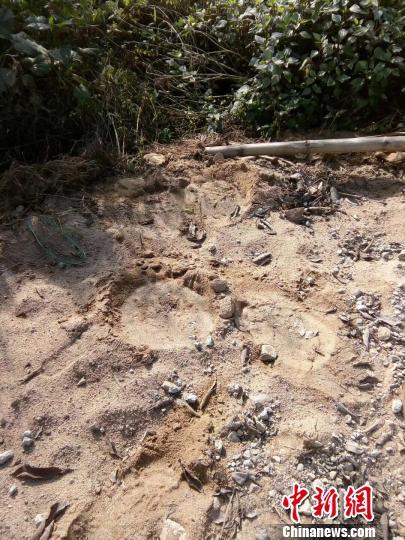图为野象在路边留下脚印 森林公安供图
