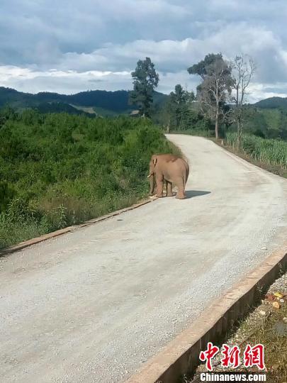 涉事野象在事发地附近逗留 森林公安供图