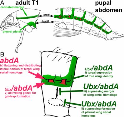 甲虫腹部培育生长的翅膀提供了昆虫翅膀神秘起源的另一个线索
