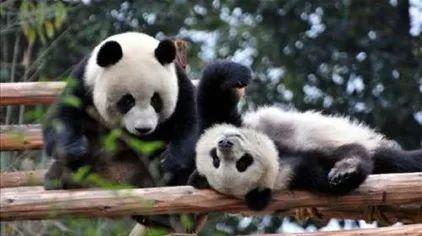 ▲在成都大熊猫繁育基地里开心玩耍的熊猫们。