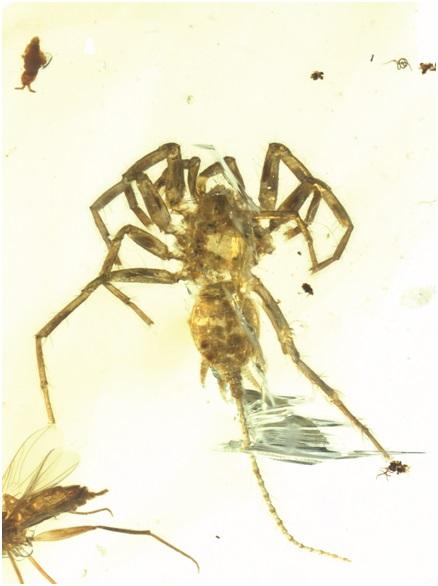 王博领衔的科研团队所研究的应氏奇美拉蛛正模(定名标本)照片。受访者供图