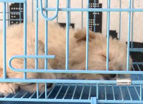 宠物店专卖将死病狗 宠物狗的细小病怎么得的 - 点击图片进入下一页