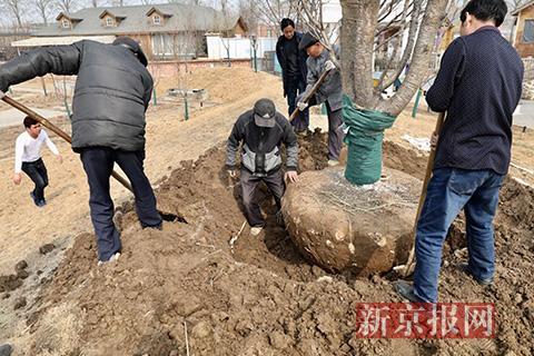 工作人员在移植近50岁的樱花树。