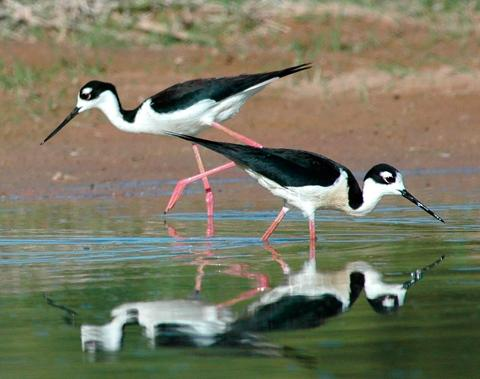 现生的滨鸟类。中国地质大学副教授、化石研究者邢立达供图