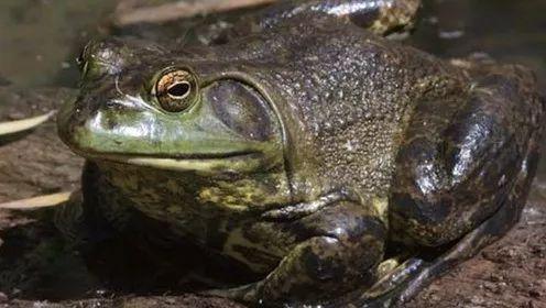 你的旅行青蛙在锅里呢!这是又一个差点被中国吃灭绝的