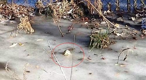 红圈处为短吻鳄探出冰面的吻部。 图片来源:沙洛特河沼泽公园发布的视频截图