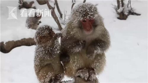 大雪纷飞 太行山数千只猕猴秒变雪猴
