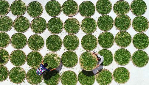 资料图片:茶农们正在忙碌采摘铁观音秋茶。新华社发