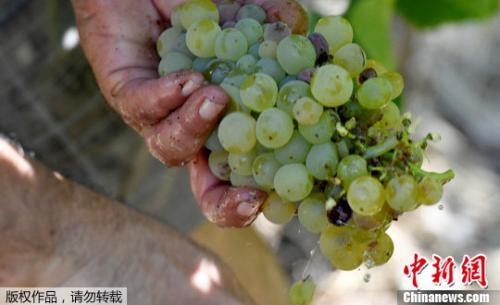 资料图:按照传统,西班牙民众会在新年夜吃上12颗葡萄以祈求来年好运。