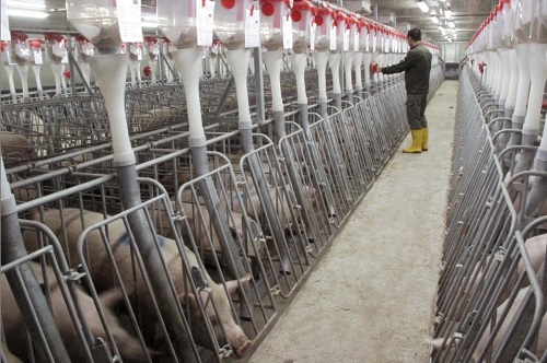 资料图片:2017年12月,中国广西武宣县,鑫广安农牧股份有限公司拥有的一处大型猪场。(路透社)