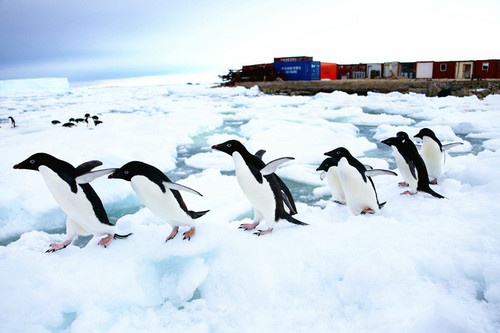 资料图片:这是2015年1月9日,一群阿德雷企鹅从南极中山站前列队走过。新华社记者 白阳 摄