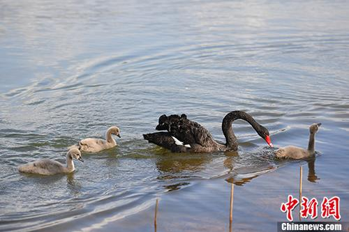 """云南昆明大学校园里的""""丑小鸭"""""""
