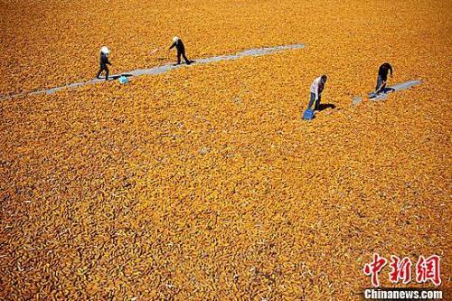 资料图:金秋九月,甘肃张掖市临泽县26.5万亩制种玉米进入收获期,金黄色成为当地田间地头的主色调。赵琳 摄