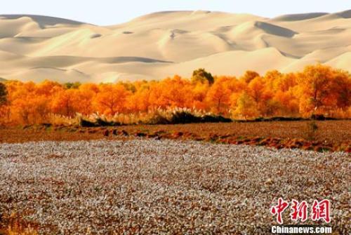 资料图:新疆兵团第二师三十三团持续植树造林改善生态环境,防止农田遭受风沙侵袭。 胡俊建 摄