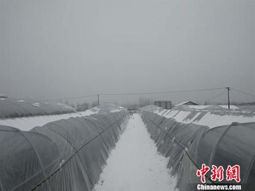图为湖北红安县,持续低温雨雪天气易造成蔬菜等农作物受冻或生长缓慢 孙勇 摄