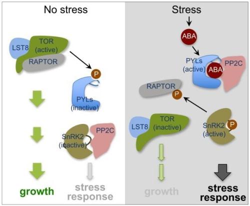 上海生科院等解析植物平衡胁迫应答和生长发育的分子机制