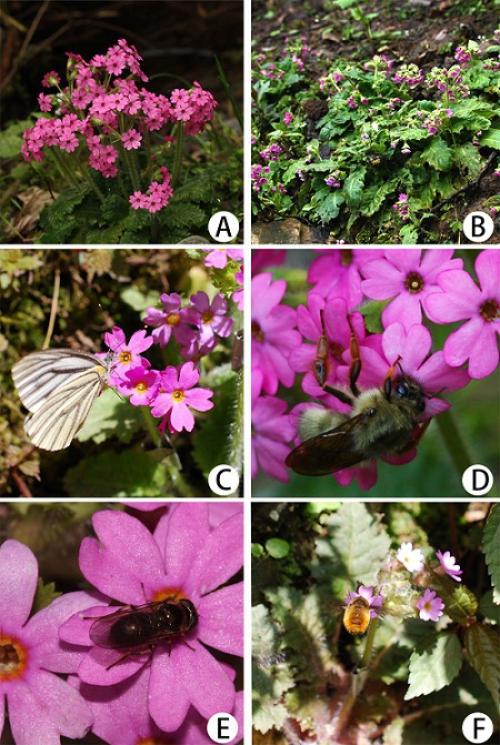 华南植物园二型花柱进化研究取得新进展