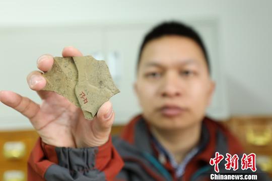 """中国科学院南京地质古生物研究所早期生命研究团队在安徽寿县约8亿年前的化石中,发现了具有多细胞和细胞分化的""""大型安徽丝藻"""",其成为早期生物固氮的最早化石证据。 杨颜慈 摄"""