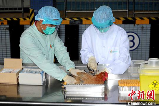 资料图:穿上整套保护装备的食安人员为活鸡抽取血液样本。中新社发 谭达明 摄