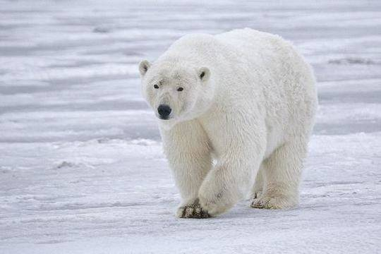 北极熊是世界上皮毛最保暖的动物 图源:推特