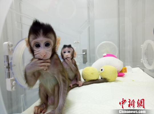 呵护千猴成长 全球首个体细胞克隆猴诞生记