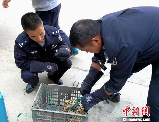 罕见豹猫现身云南宁洱 偷吃十多只鸡被逮住(图)