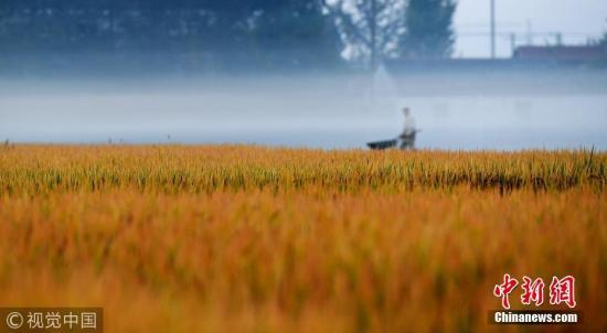 资料图:江苏海安稻田广布,早起的农民在阡陌间忙碌,人们就像在画中平整土地、清理杂草、收割播种。 图片来源:视觉中国