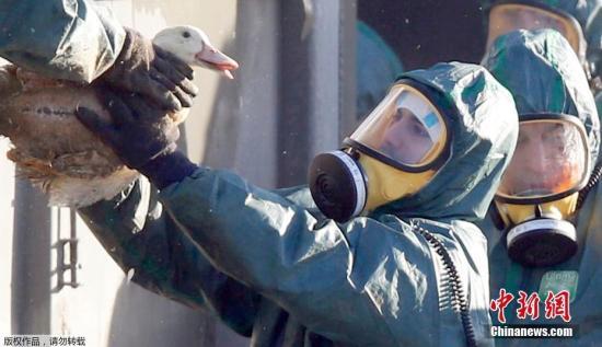 法国西部一处农场发现禽流感病例 扑杀8500只鸭