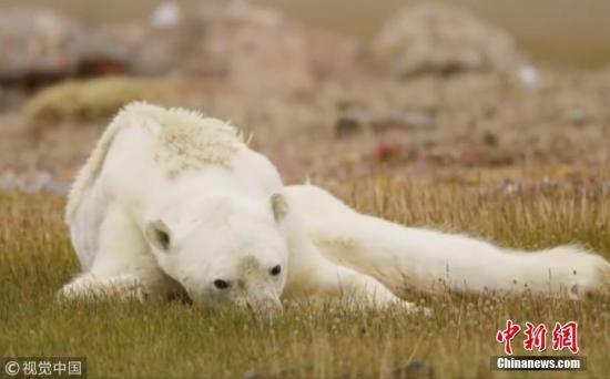 2017年12月12日动静,一段使人心碎的视频正在收集上走白,绘里显现一只脑满肠肥的北极熊正正在渣滓桶中寻食。