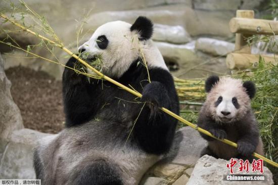 旅澳大熊猫福妮现怀孕迹象 动物园将迎熊猫宝宝