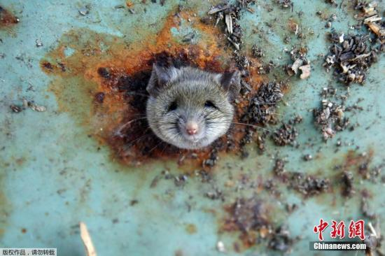 资料图:被卡在垃圾桶上的老鼠。