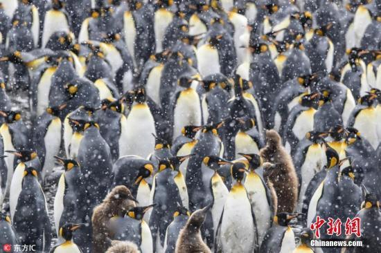 研究警告:全球变暖 七成国王企鹅恐本世纪灭绝