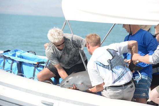 它不像大熊猫一样好运 对加州湾鼠海豚迟到的抢救