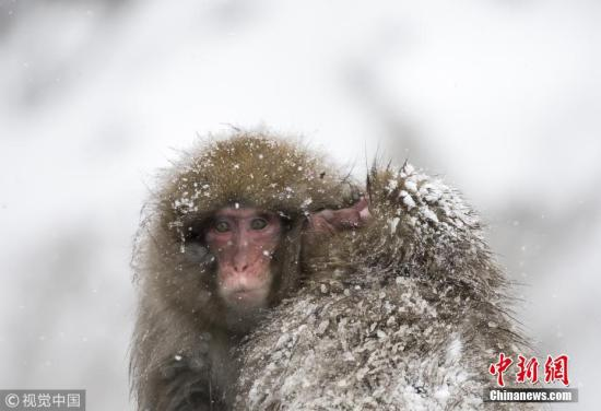 日本一动物园20只猕猴抱团取暖 再冷都能