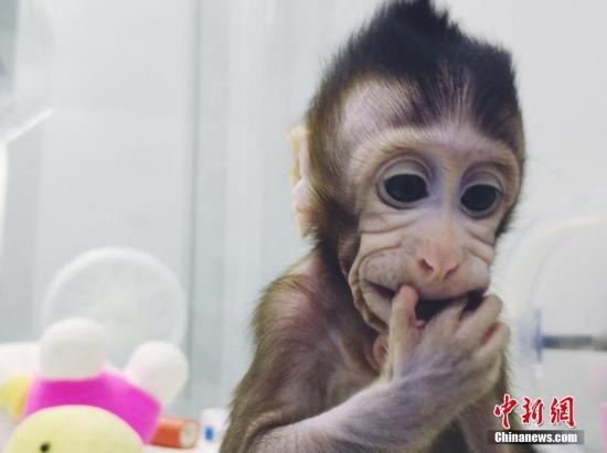 材料图:中国迷信家胜利培养寰球首集体细胞克隆猴。 图片起源:中科院神经所供图