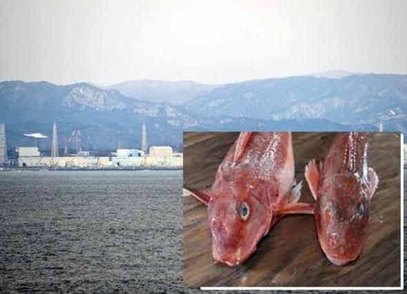 福岛第一核电站附近海域的小鳍红娘鱼(小图)辐射量超标。(资料图片)