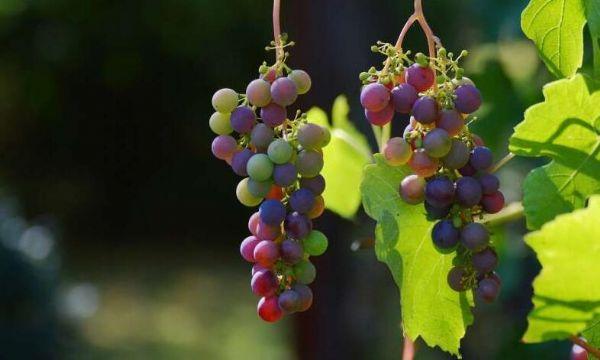 NatCommun:葡萄中的特殊化合物或有望治疗抑郁症
