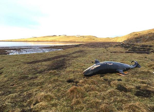 苏格兰海岸惊现虎鲸幼崽尸体 疑被飓风卷上岸