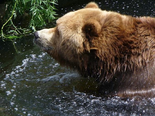 研究发现:阿拉斯加种子散布者是熊不是鸟