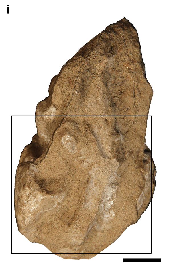 13号胚胎照片,方框显示胚胎所处位置(比例尺10 mm)