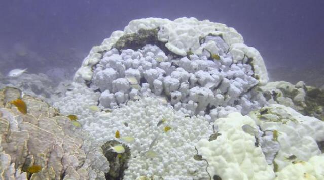 研究:气候暖化 珊瑚礁白化速度30年升达